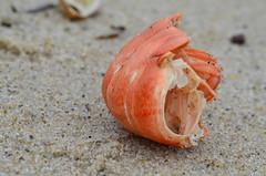Lobster Tail (jillian_w) Tags: vacation beach nikon massachusetts cape cod d5100