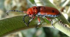 orange beetle, Tetraopes, on milkweed, sooc (Martin LaBar (going on hiatus)) Tags: california orange macro beetle milkweed sandiegocounty tetraopes apocynacea