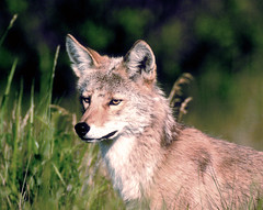Coyote in Jasper National Park, Alberta, Canada (MInty_Verbeten) Tags: coyote park animal animals jasper wildlife parks canadian national planet nationalparks jaspernationalpark wildanimals canadianrockies coyotes canadianrockymountains westernwildlife