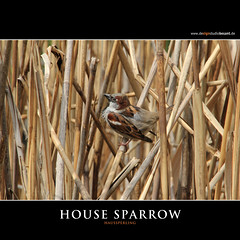 HOUSE SPARROW (Matthias Besant) Tags: bird birds animal animals deutschland tiere europa europe european hessen sparrow pairs mate sparrows housesparrow passerdomesticus spatzen tier vogel usedom songbird voegel spatz passer songbirds hecke passeriformes weiblich singvoegel sperling housesparrows weibliche paerchen singvogel singingbirds passeridae weibliches singingbird passeri europaeische haussperling animalcouple pairofbirds europaeischer europaeisch weiblicher sperlinge europaeisches vogelpaar sperlingsvogel sperlingsvoegel europaeischen haussperlinge maennliche maennlicher maennliches animalpair highqualityanimals matthiasbesantphotography