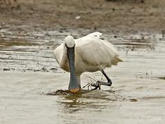 Lepelaar (Hennie Cuper) Tags: france nature birds animals vogels sigma frankrijk lepelaar platalealeucorodia eurasianspoonbill canon450d 150500