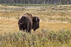 YELLOWSTONE BISON (bydamanti) Tags: animals landscapes buffalo yellowstonenationalpark yellowstone wyoming bison usnationalparksandplaces usnationalparks animalpictures awesomeanimals yellowstonewildlife nationalparkphotography addictedtoanimals bearmoose 1802000mmf3556 onlyanimals planetearthanimalsbirds nationalparksnationalmonuments natureswildlifeanimalsandbirds