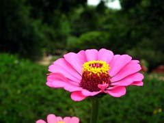 Zinnia from Lalbagh Flowershow - August 2012 (Rameshng) Tags: show from flower is august zinnia 9th 15th happening flowershow lalbagh 2012 2012the