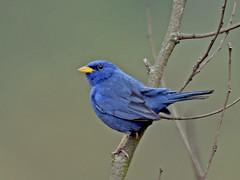 campainha-azul (Porphyrospiza caerulescens) Blue Finch (claudio.marcio2) Tags: bird nature wildlife natureza pssaro aves oiseaux caerulescens specanimal bluefinch campainhaazul porphyrospiza