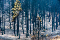 Burned Out Forest After the Taylor Bridge Fire 8/19/12 (Steve G. Bisig) Tags: forest fire washington burn pacificnorthwest forestfire wildfire easternwashington centralwashington wildland wildlandfire taylorbridgefire cleulum