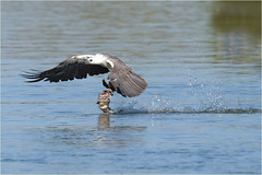 Heavy load (audiodam) Tags: australianbirds australianwildlife whitebelliedseaeagle