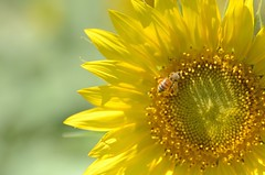 sunflower and bee (snowshoe hare) Tags: flowers summer nature bee sunflower botanicalgarden    dsc9383 dsc9368