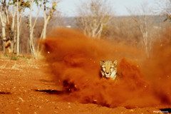 The fastest animal on Earth (Mangini Adalberto & Laura) Tags: africa animals wildlife cheetah zambia coth specanimal cheetahrun alittlebeauty magicunicornverybest coth5 mukunibig5