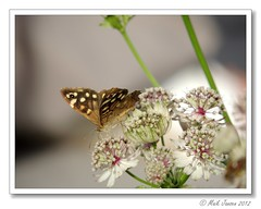 Bont Zandoogje (Maik Jansen) Tags: butterfly garden dof bokeh tuin