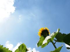 Look up at the sun. (Simon*N) Tags: blue summer sky cloud sun flower color japan landscape lumix olympus sunflower 日本 夏 雲 太陽 空 風景 omd 向日葵 olympusomdem5