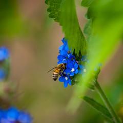 Hungry (jaeschol) Tags: biene blte europa insekt kantonzrich schrebergarten schweiz stadtzrich switzerland bee