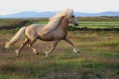 The beautiful stallion ri fr Arnbjrgum (toda_1998) Tags: palomino icelandicpony pony hst pferd iceland horse icelandichorse
