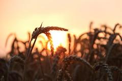 Weizen in der Abendsonne (janakintrup) Tags: weizenfeld weizen ernte hre gelb gold rot orange gegenlicht sunset sonne sonnenschein abendsonne abendlicht stillleben pflanze abendstimmung