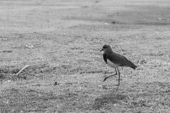 Lonely (MFMarcelo) Tags: park shadow blackandwhite bird brasil canon eos sopaulo lonely 70200 ef70200mm southernlapwing 5diii