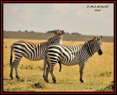 PAIR OF COMMON ZEBRA (Equus burchelli).....MASAI MARA......SEPT 2015 (M Z Malik) Tags: nikon d3x 200400mm14afs kenya africa safari wildlife masaimara kws exoticafricanwildlife zebras ngc