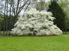 Over 100 Year Old Dogwood (Ramblin San) Tags: dogwood huntsville botanicalgarden alabama cornus floweringtree tree habit