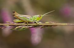 Common Green Grasshopper - Omocestus viridulus (markhortonphotography) Tags: deepcut surrey swt macro hopper thatmacroguy surreywildlifetrust grasshopper surreyheath heather orthoptera insect markhortonphotography commongreengrasshopper omocestusviridulus