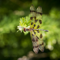 Halloween Pennant Dragonfly - Edwin B. Forsythe National Wildlife Refuge (redforester) Tags: anthonycedrone wings insect dragonfly largeeyes newjersey nature summer refuge