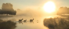 The Crossing (stephen.darlington) Tags: bushypark london deer park wildlife nature teddington hampton reddeer cervuselaphus mammal water sunrise morning sky mist fog animal planet