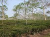 Tea Research Institute (D-Stanley) Tags: tea research institute srimongal bangladesh