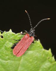 Net-winged Beetle - Platycis minutus (Prank F) Tags: titchmarshlnr wildlifetrust northantsuk wildlife nature insect macro closeup beetle netwinged platycisminutus