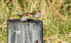 Red-browed Finch1 (caralan393) Tags: finch redbrowed red post birds tamron