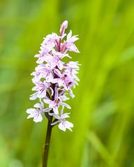Askham Bog, York (alh1) Tags: askhambog yorkshirewildlifetrust england northyorkshire york orchid