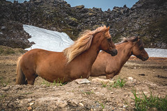 Icelandic Horses @Landmannalaugar (Benjamin MOUROT) Tags: iceland islande north northernlight viking canon 70d nisifilter polarised lightroom6 photoshopcs3 1022mm landscape paysage europe 2016 july horse horses chevaux animal landmannalaugar wild
