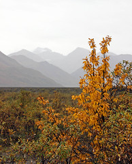 denali vista (scott1346) Tags: park national denali view colors yellow green paleblue 1001nights 1001nightsmagiccity autofocus