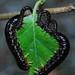 Craesus latipes larvae