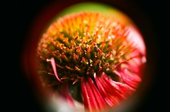 Sonnenhut, Echinacea (Harald Reichmann) Tags: niedersterreich spillern pflanze blume blte sonnenhut echinacea film analog olympusom4