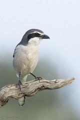 _NAT3057 (VictorD7000) Tags: alcaudonreal laniusmeridionalis nikond7200 nikon sigma150600sport sigma espaa alicante sierraelmolar aves nature nikonnature fauna