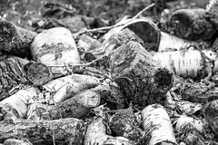 Local man chops wood (OR_U) Tags: 2016 oru uk langleywood langleywoodnationalnaturere tree chopped log birch vanmorrison bw blackandwhite blackwhite schwarzweiss texture patterns langleywoodnationalnaturereserve