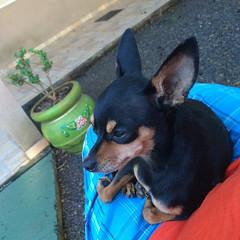 """Foz do Iguaçu: le chien de notre hôte nous a complètement adopté ;) <a style=""""margin-left:10px; font-size:0.8em;"""" href=""""http://www.flickr.com/photos/127723101@N04/29014984674/"""" target=""""_blank"""">@flickr</a>"""