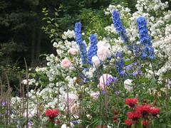 IMG_6612 (jrcollman) Tags: philadelphus harlowcarrgarden plants pplant rplant delphinium monarda mplant rose