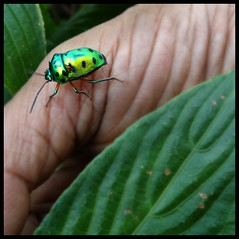 Matheran : Jewel Beetle (indianature13) Tags: matheran august 2016 westernghats maharashtra india indianature nature jungle forest biodiversity bug beetle jewelbug jewelbeetle insect