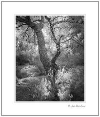 Halkidiki Woodland (Joe Rainbow) Tags: tree mono bw trees woodland halkidiki greece landscape 45mm 4mmtse branches backlit