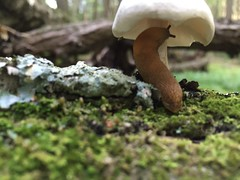 (mikeliebler222) Tags: wet gross slimy crawling mothernature life landliving michaelliebler dirty swamps newengland usa america northeast northern connecticut nature forest swamp log woods mushrooms mushroom slug