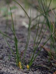 Lomandra caespitosa?, Wireless Hill, Perth, WA, 15/08/16 (Russell Cumming) Tags: plant lomandra lomandracaespitosa asparagaceae wirelesshill perth westernaustralia