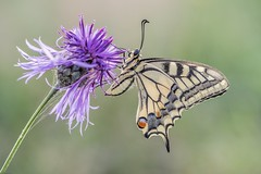 *morning dancer* (albert.wirtz) Tags: schwalbenschwanz swallowtail eifel vulkaneifel albertwirtz nikon micronikkor105mmf28vr macro makro butterfly schmetterling papiliomachaon flockenblume meerfeld meerfeldermaar landesblick macroandwonderfulshots
