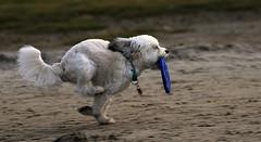 Speed (Nephentes Phinena ) Tags: dog hund nikond300s westerhever