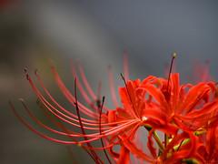 (takanorimutoh) Tags: flower   em1 macro colorsinourworld