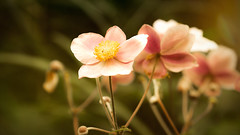 (Gitta Martin) Tags: blume blte sonnenlicht sommer sony alpha 57 rosa natur flower