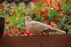 Collared Dove (Tony Howsham) Tags: in my garden wildlife canon eos70d sigma 18250 macro collared dove