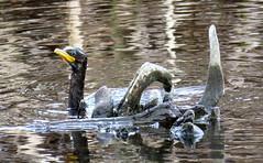 Roa (The Hamilton lake Rotoroa version of Nesi of Loch Nes) (JayVeeAre (JvR)) Tags: ©2016johannesvanrooy johannesvanrooy johnvanrooy gimp28 lake lakerotoroa picasa3 httpwwwpanoramiocomuser1363680 httpwwwflickrcomphotosjayveeare johnvanrooygmailcom gimpuser gimpforphotography canonpowershotsx60hs hamilton newzealand 2016 rotoroa