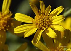 11-IMG_4617 (hemingwayfoto) Tags: august blhen blte gelb giftig jakobskreuzkraut korbbltler neophyt seneciojacobaea