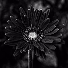 The Heart of Darkness (brev99) Tags: dxofilmpack5 perfecteffects10 ononesoftware blackandwhite flower colorefex d7100 contrast sigma1770os