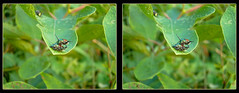Come on Baby, Let's Fly ! - Crosseye 3D (DarkOnus) Tags: pennsylvania buckscounty huawei mate8 cell phone 3d stereogram stereography stereo darkonus closeup macro insect popillia japonica mating japanese beetles come baby lets fly ttw crossview crosseye