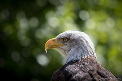 Bald Eagle (agleeson2) Tags: americanbaldeagle birdsofprey birds wildlife gauntletbirdsofprey