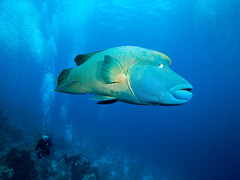 Nap. Wrasse (altsaint) Tags: wrasse napoleonwrasse fish egypt redsea rasmohammed panasonic gf1 714mm underwater
